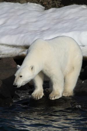 Reser man till Svalbard hoppas man förstås få se isbjörnar och vi blev inte besvikna när vi för någon månad sedan var där. Vid mer än ett tillfälle kom björnarna desutom ända ner till stranden och stod lugnt där och tittade på oss, så att man nästan kunde tro att de visste att vi gärna ville fotografera dem.