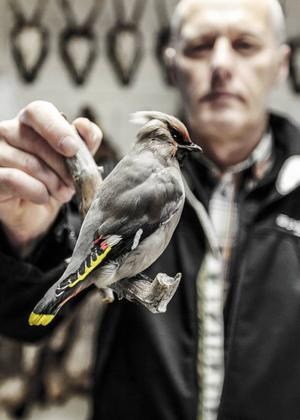 Bo Lydén från Östersund hämtar sin sidensvans, som han lämnade in hos Thomas för snart ett år sedan.