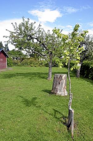 Många. På Hästens förskola finns bara ett päronträd. Det blommar intill stubben av sin omskrivna, nedsågade föregångare.Foto: Jan Wijk