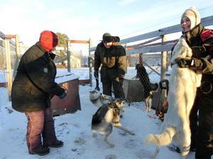 Tre av hundarna som ska med på dagens första runda ställs i ordning. Claudia, Richard och Nanoek har jobb hela dagen med träningen.