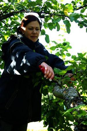 När björkarnas löv är som musöron är det dags att beskära rosorna. Då ser man också var nya knoppar sitter och kan forma busken som man vill. Trädgårdsingenjören Karin Thoor beskär äppelträd tidigt på hösten. Lite besvärligare är det eftersom alla löv – och frukter – sitter kvar. Men ett äppelträd som växer kraftigt och får många skott skjuter bara ännu fler skott om det skärs på vårvintern. Foto: Scanpix