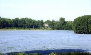 Ett fält med oljelin utanför Enköping.