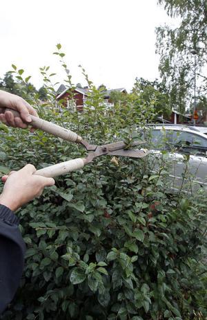 Att klippa bort de nytillkomna skotten är ett vanligt sätt att hålla efter häcken.