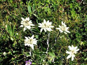 Edelweiss på berget Rax är fridlyst.