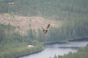 Flygakrobater. Pilgrimsfalken är en flygakrobat och kan dyka i hastigheter över 250 km/h.