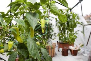 Närodlat. Paprika, majs, tomater, gurka och sojabönor trivs i växthuset, där morfar Stefans pelargoner också frodas.