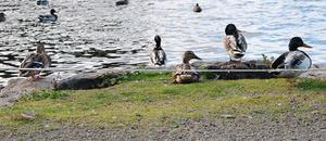 En lina som spånts upp utmed strandkanten till Vågen ska hindra kanadagässen från att ta sig i land och förorena stranden.