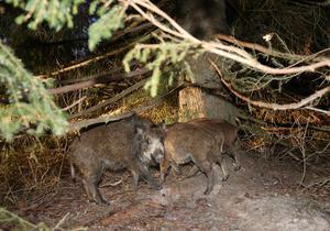 Allt fler vildsvin dyker upp på allt fler ställen i landet.