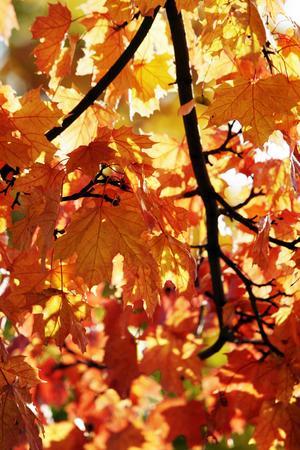 Eldfärgade lönnlöv någonstans i Sundsvall hösten 2008.