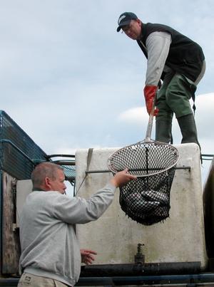 Fiskhåvning. Håkan och Leif Olsson i färd med att håva upp regnbågsforeller ur en lastbilstank för utplantering i Nässjön.