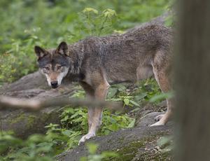 I en förhandsrapport från Naturvårdsverket sägs att antalet invandrade vargar är för litet för att det nuvarande referenstalet för gynnsam bevarandestatus skall vara korrekt, skriver debattförfattarna.