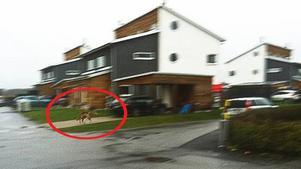 Här springer vargen - mitt i villaområdet!