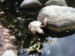 Sköldpaddan är helt klart död.