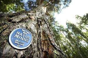 Jättetall. Prästatallen är ett majestätiskt träd som redan fått stämpeln naturminne.