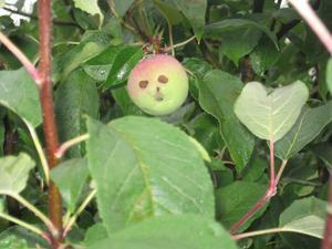 Ansiktet i appelträdet,