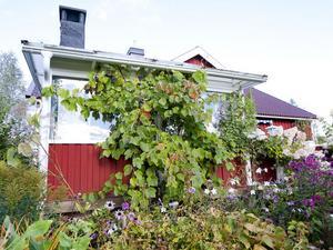 På utsidan av uterummet hinner vindruvorna sällan bli lika goda som de som letat sig in under taket.