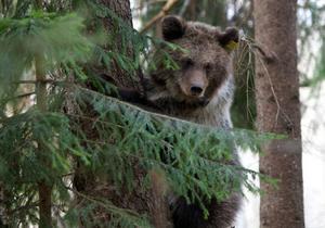 Björnen har numera en stabil stam och ses inte längre som en rödlistad art. Det finns uppskattningsvis 3000 björnar i Sverige.