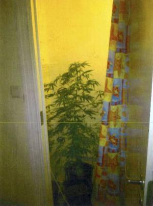 Cannabisodling som polisen hittat i en bostad i Sundsvall.
