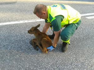 Ambulansföraren Fredrik Leonardsson hjälper en älgkalv bort från vägen.
