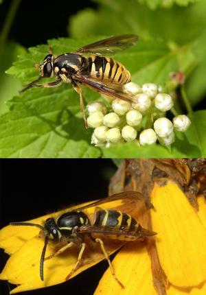 Blommor och bin. Getingarna har under sensommaren blivit ett allt större problem eftersom rekordmånga har förökat sig.