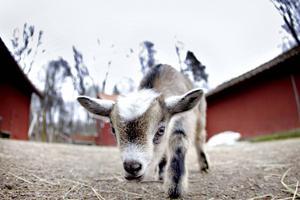 Sigrids Hage har blivit ett populärt utflyktsmål för familjer. Förra helgen kom 300 besökare till djuren i Högbo.