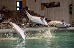 På Delfinariet i Kolmården kan publiken se delfinerna uppträda och göra konster i den populära showen i bassängen.