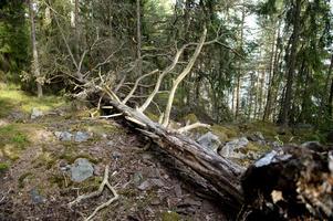 Mängder av gamla omkullblåsta träd ligger över stigarna.