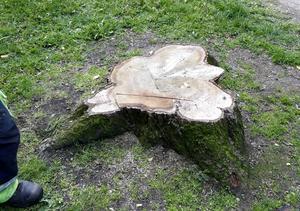 Kommunen tvingades såga ned sina ekar, som med största sannolikhet dog av att människor kissat på dem.