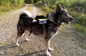 Älghunden Ture sänder direkt med sin västkamera från skogarna i Stockvik söder om Sundsvall.