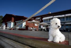 Den bortsprugna hunden är av rasen Bichon Frisé. *Hunden på bilden har inget med händelsen att göra.