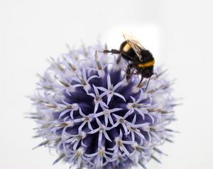 Bin och andra insekter som humlor står för pollineringen av en tredjedel av maten vi äter globalt.