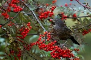 Hushållar dåligt. Gillar du att mata fåglar vintertid? Plocka rönnbär nu och frys in. Senare i vinter kan du använda dem till kransar och ståltrådshjärtan som pippisarna kan kalasa på när de ätit det som satt på träden.