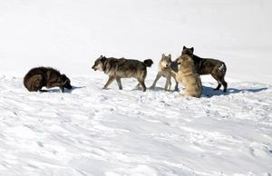 Importera vargar från bland annat  Yellowstone nationalpark (bilden), för att säkra genetisk uppblandning av varg i Sverige. Foto: TT