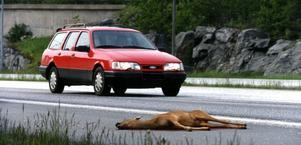 Ett gott råd: var påläst om vad som gäller beträffande skyldighet att anmäla till djur som blivit påkört. Foto: Björn Larsson Ask/TT