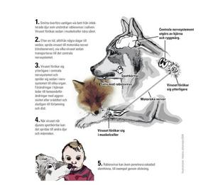 Alla varmblodiga djur samt människor kan drabbas av rabies. Sjukdomen orsakas av ett Lyssavirus. Smittan sprids främst via saliv. Djur som infekterats kan utsöndra virus i saliven redan två veckor innan några symptom märks. Se Helena Johansson utförliga illustration.