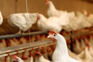 Ännu har ingen fågelinfluensa konstaterats i Örebro län.