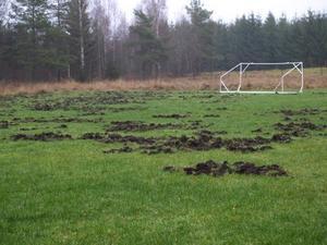 FÖRSTÖRD. Fotbollsplanen i Lövstabruk har haft besök av vildsvin.