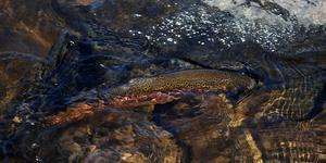 Den pricka jägaren. En tuff fighter och en vacker fisk.