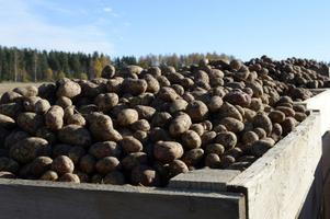 Stora lådor med potatis som nu plockats upp.