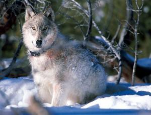 Vargen slår vilt, äter sig mätt och lämnar ett dukat bord med rester åt örnen att kalasa på, när det är vinter och kallt och den behöver det som mest.