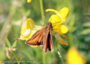 Jag skulle till affären då jag såg denna fjäril sitta och vila sig. så jag satte mig brevid & lät den bekanta sig med min kamera :)