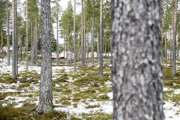 Här i skogspartiet mot Myrgränd blir det betydligt glesare mellan stammarna.