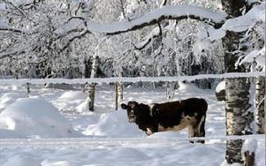 En älg? Längs marknadsvägen visade sig inte skogens konung i går men väl en ko.FOTO:LEIF OLSSON