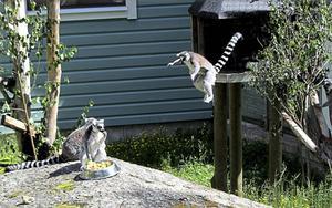 Lemurerna blev snabbt besökarnas favoriter. Foto Uno Gradin