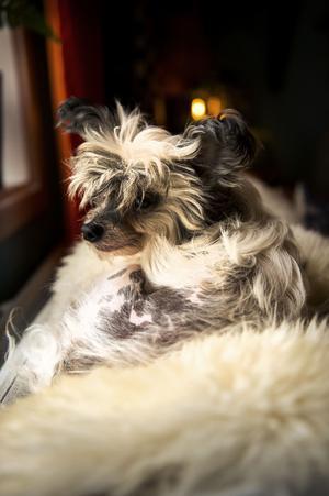 Annika Franks nakenhund är väldigt hårig. Han trivs på sin fårfäll vid fönstret i vardagsrummet.