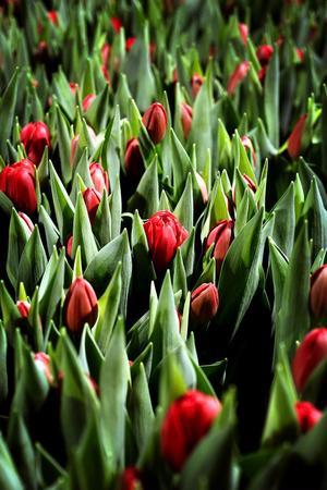Tulparner, inte långväga från Amsterdam, utan från närliggande Målsta utanför Matfors. I förra veckan skördades tulpanerna för fullt inför helgen och Alla hjärtans dag.