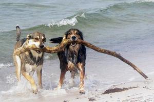 Min hund Leo och hans kompis Ozzi rensar Skanörs strand på drivved!
