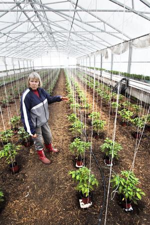 I sommar kommer kunderna att kunna plocka gula, orange och röda tomater i växthuset i Gustafsäng.