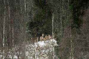 I en glänta ser man hjortarna lite bättre. De är vilda och mycket skygga för människor.