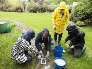 Sundsvalls trädgårdsförening visar hur man utrotar mördarsniglar.  Eva Eliasson, Aina Smedberg, Lena Ståhlman och Anna-Karin Englund klipper sniglar.